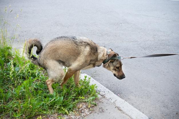 Brązowy pies robi kupę na ulicy na zielonym trawniku