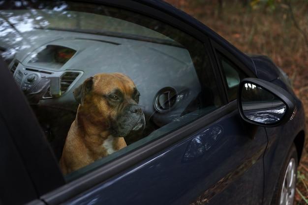 Brązowy pies w zamkniętym samochodzie wygląda przez okno. ochrona zwierząt