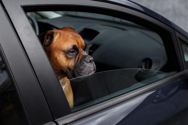 Brązowy pies zamknięty w samochodzie wygląda przez okno. zagrożenie