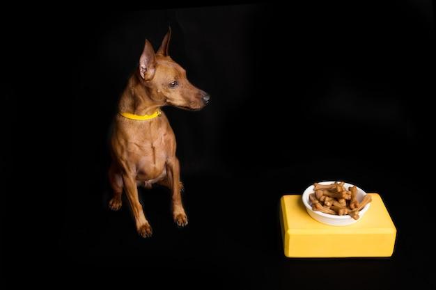 Brązowy pinczer miniaturowy z żółtym kołnierzem. biała miska z kośćmi psa. na żółtym stojaku. czarne światło studyjne. zdjęcie wysokiej jakości