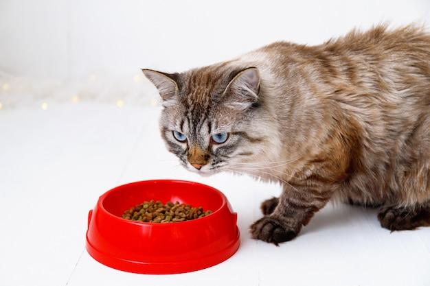 Brązowy pręgowany kot jedzenie z czerwonej miski