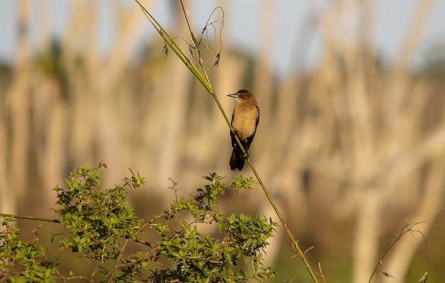 Brązowy ptak żołna siedzący na gałęzi