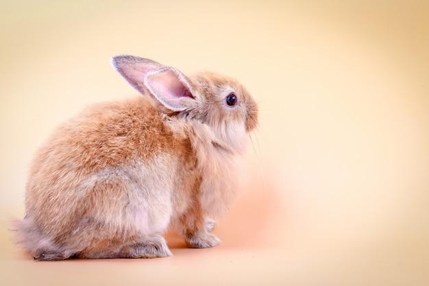 Brązowy puszysty królik jest na pomarańczowym tle w studio.