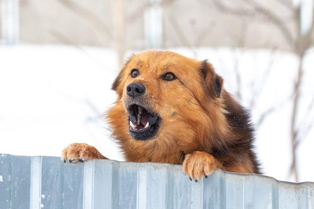 Brązowy puszysty pies stoi na tylnych łapach i zimą wygląda zza płotu