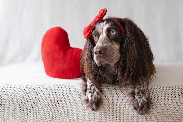 Brązowy rosyjski spaniel pies w czerwonej kokardce leżącej na kanapie z wielkim sercem pluszaka. walentynki. leżąc na kanapie.