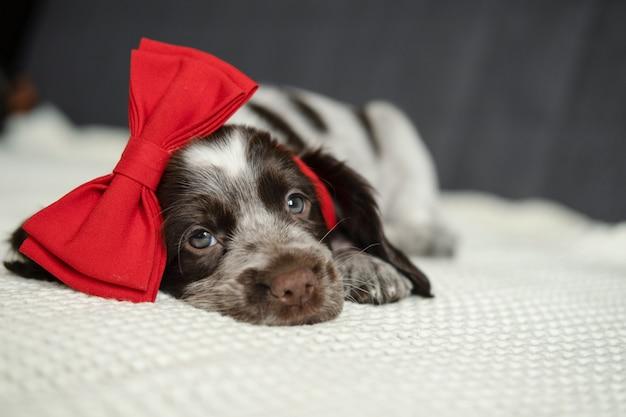 Brązowy spaniel rosyjski pies leżący na kanapie z czerwoną kokardą na głowie. walentynki. leżąc na kanapie. prezent.