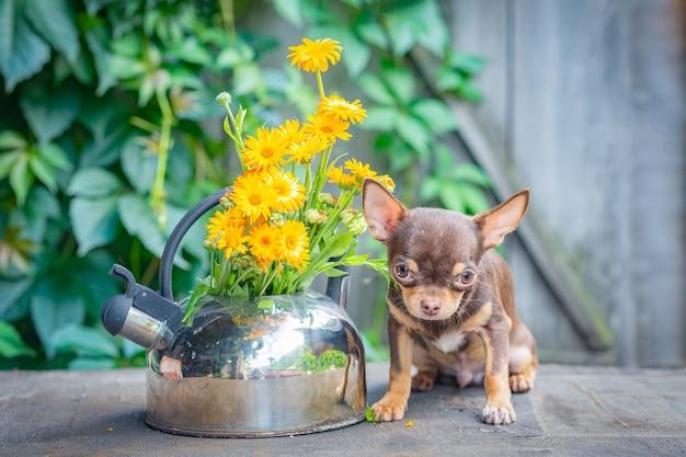 Brązowy szczeniak chihuahua siedzi z głową do góry na drewnianym stole w pobliżu czajnika nagietka.