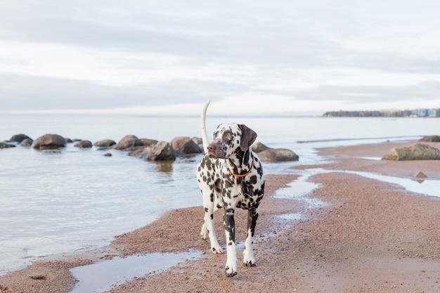 Brązowy szczeniak dalmatyńczyka na plaży. szczęśliwy dalmatyńczyk bawiący się na plaży. dalmatyńczyk to rasa dużych psów spacerujących po plaży, bryzgi wody. pochmurna pogoda