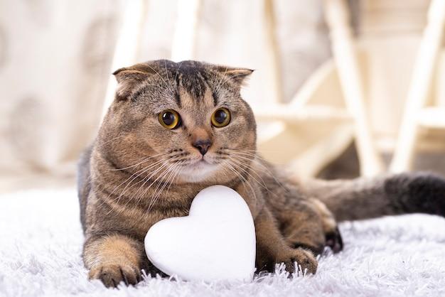 Brązowy szkocki zwisłouchy kot z białym sercem na dywanie.