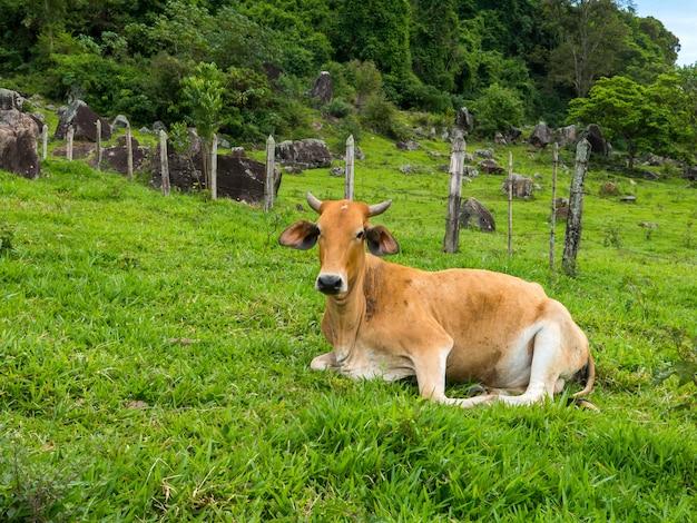 Brązowy wół na zielonych pastwiskach - byk - żywy inwentarz - hodowla bydła