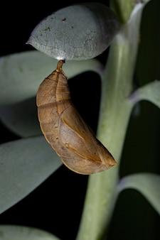 Brazylijski kokon motyla z rzędu lepidoptera