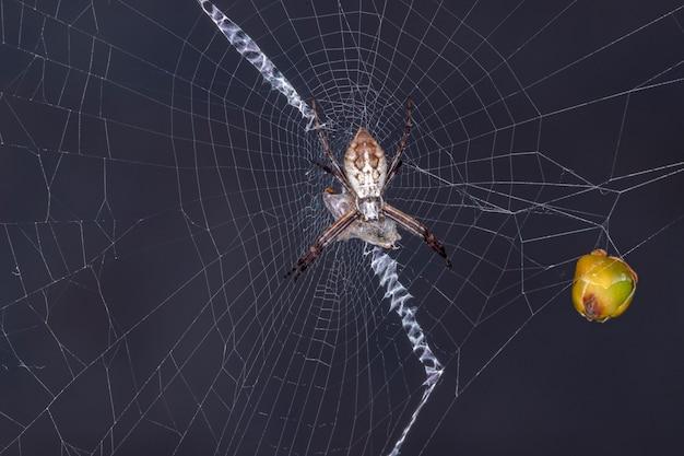 Brazylijski mały pająk orbweaver z rodzaju argiope