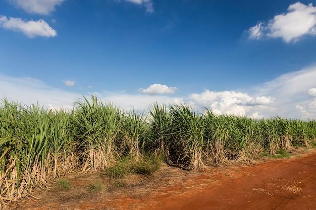 Brazylijski pola trzciny cukrowej pod błękitnym niebem.