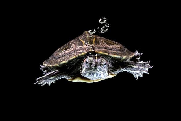 Brazylijski żółw pływający w wodzie