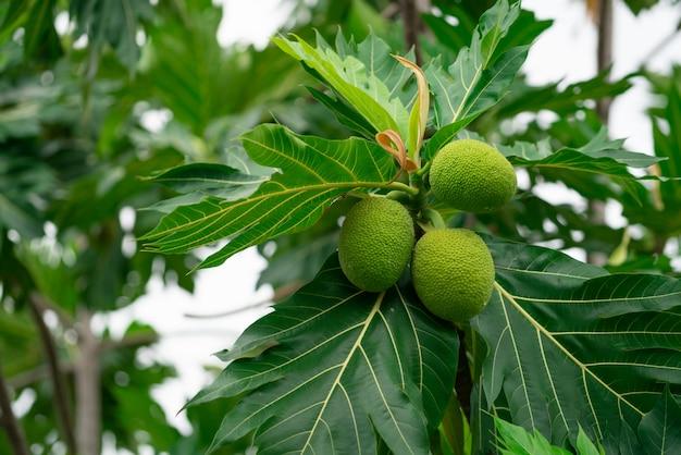 Breadfruit na drzewie chlebowym z zielonymi liśćmi w ogrodzie.