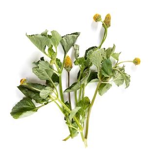 Bredes mafane (acmella oleracea), jadalne liście do kuchni kreolskiej na białym tle