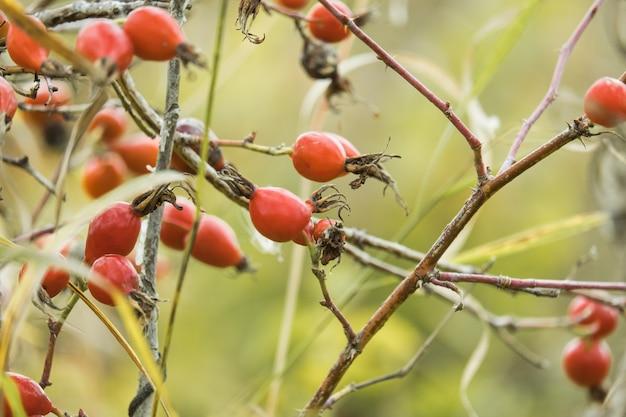 Briar rose dzika róża (po niemiecku hagebutte) rosa canina. słodki wrzosiec. świeże dojrzałe owoce dzikiej róży, surowe jagody dzikiej róży lub dzikiej róży z nasion, koncepcja zdrowej żywności.
