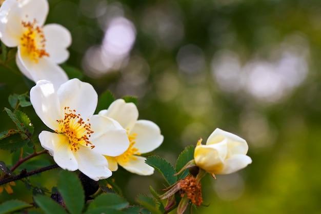 Brier kwiaty z miejsca na kopię
