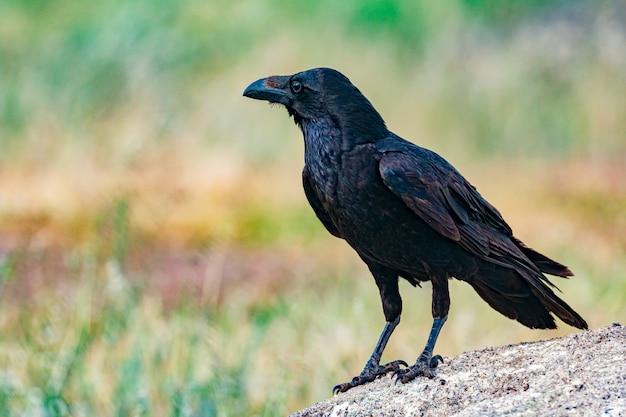 Brigh czarne upierzenie wrony