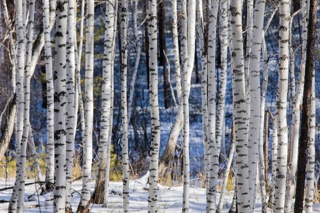 Bright birch trunks w zimowym lesie w słoneczny dzień. zimowe drewno w świetle słonecznym