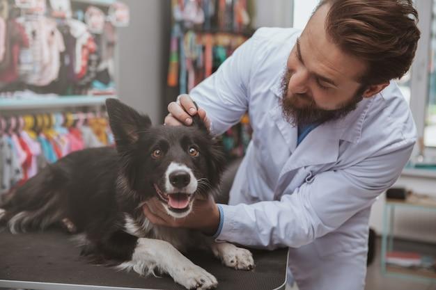 Brodaty męski weterynarz egzamininuje ucho śliczny szczęśliwy zdrowy pies