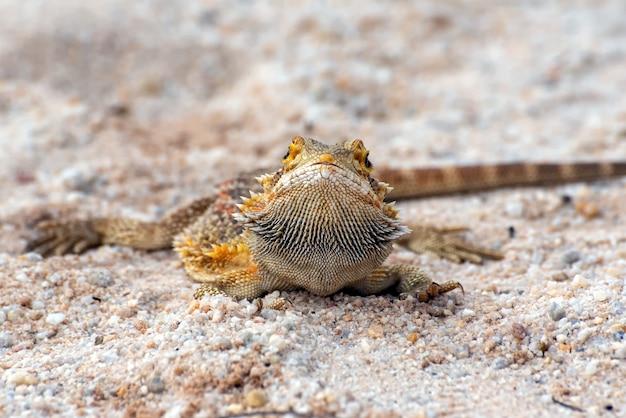 Brodaty smok w piasku