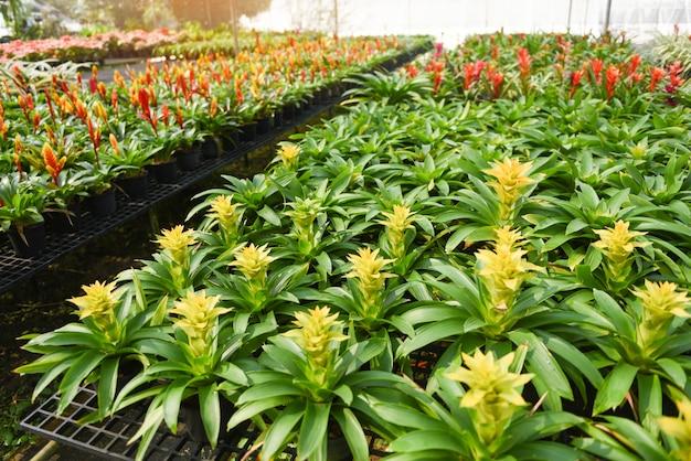 Bromeliad kwiat szkółki ozdobne i kwiat roślin zielonych rosnących w szklarni ogrodowej pod dachem