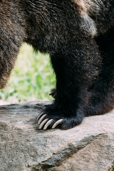 Brown bear paw detail w bronx zoo. nowy jork