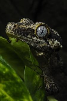 Brown gekon jaszczurka na zielonym liściu