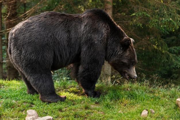 Brown grizzly niedźwiedź w lesie