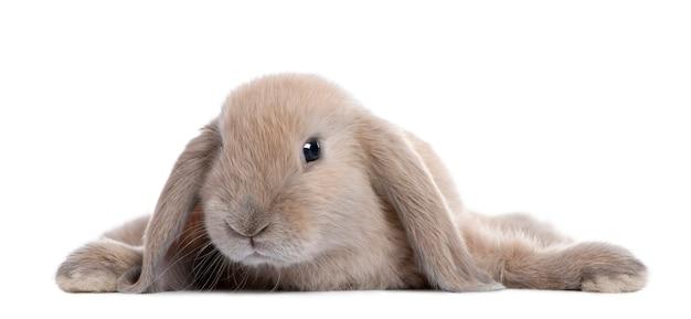 Brown królika łgarski puszek na bielu odizolowywającym