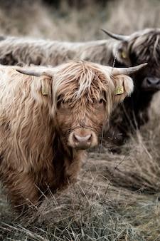 Brown krowa na brown trawy polu podczas dnia