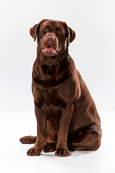 Brown labrador retriever na bielu