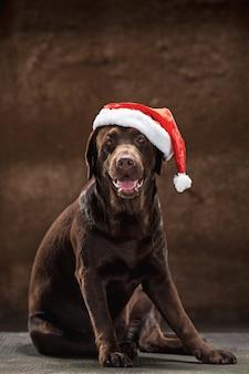 Brown labrador retriever siedzi z prezentami na bożenarodzeniowym kapeluszu santa