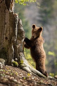 Brown niedźwiadkowy lisiątko wspina się drzewa w wiosna lesie