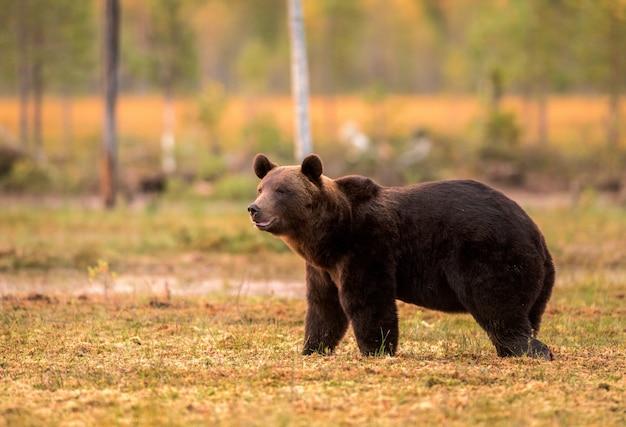 Brown niedźwiedź chodzi w pięknym wieczór świetle