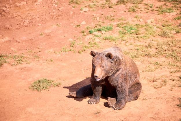 Brown niedźwiedź opalać się na jesień dniu
