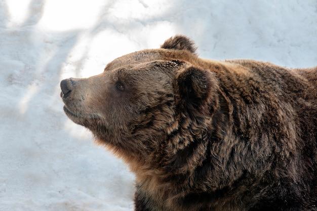 Brown niedźwiedź stoi na białym śniegu