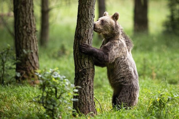 Brown niedźwiedź stoi na tylnych nogach i wącha drzewa w lato lesie
