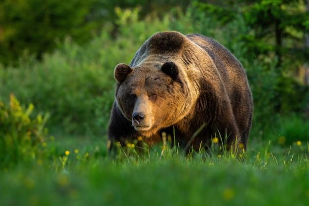 Brown niedźwiedzia męska pozycja na łące patrzeje naprzód w lecie przy zmierzchem.