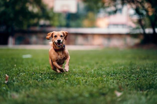 Brown psi bieg na trawie