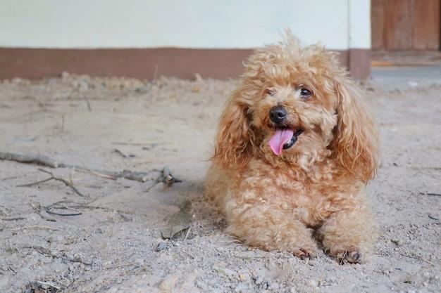 Brown pudla psa lying on the beach na ziemi i pokazywać długiego jęzor.