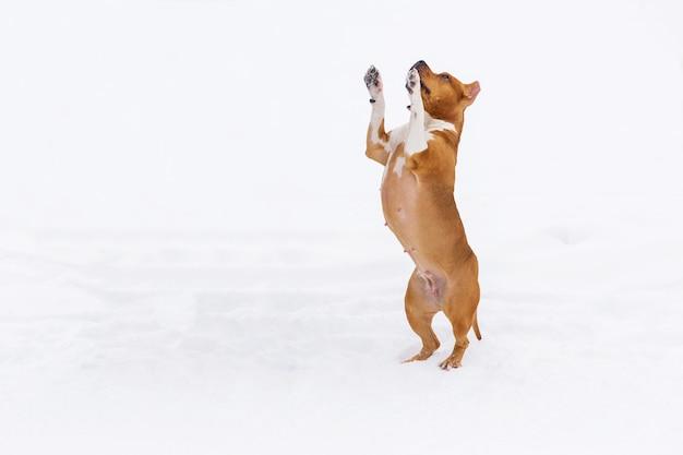 Brown rodowodu psa doskakiwanie w śniegu w lesie. staffordshire terrier