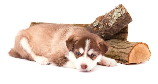 Brown szczeniaka siberian husky z niebieskimi oczami kłama, odizolowywającymi na bielu