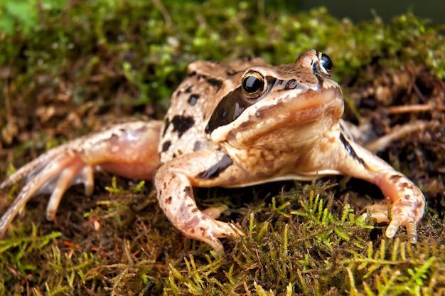 Brown żaba na lesie