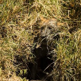 Brudna lwica ukrywa się w buszu, serengeti, tanzania, afryka