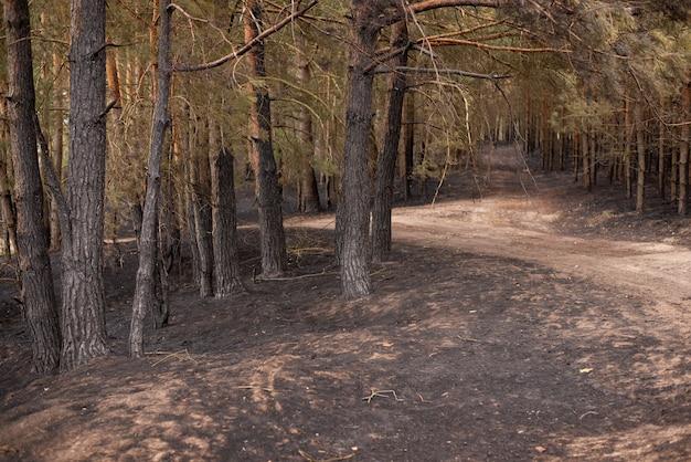 Brudne drogi w lesie, dookoła sosny, a poniżej spalone czarne pnie