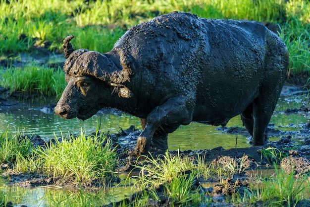 Brudny bawół afrykański spacerujący po bagnach