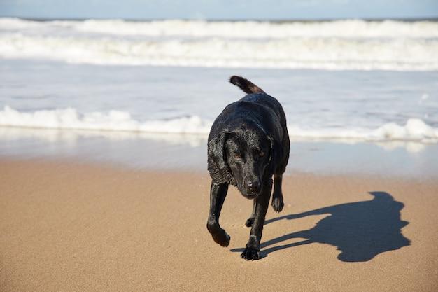 Brudny czarny pies kopiący piaszczystą plażę na plaży. nad morzem, pod zachmurzonym niebem.