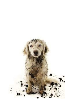 Brudny pies po grach w mud puddle.
